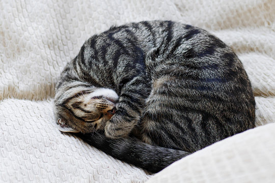 curled up tabby cat sleeping on pillows