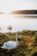 Graceful swan on green meadow in sunlight