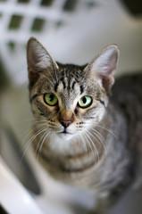 Portrait of grey tabby cat