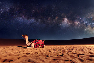 Foto op Aluminium Kameel Camel animal is sitting on the sand dune in a desert. Milky Way galaxy and stars in the sky. United Arab Emirates