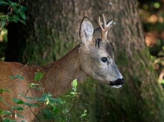 Roebuck head in profile