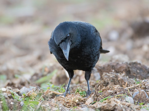 Carrion Crow foraging in field