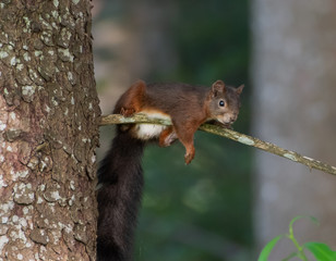 Red Squirrel relaxing