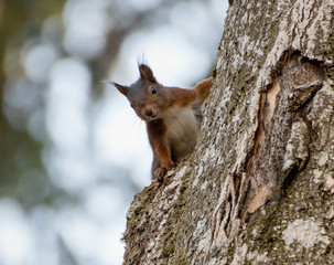 Red Squirrel is curious