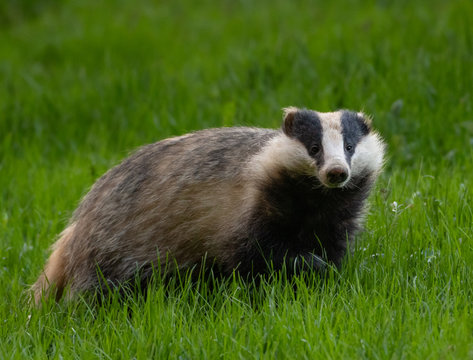 Badger in the grass