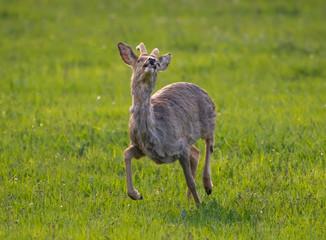 Roe Buck in spring