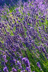 Close-up Lavender bushes in sunny day. Sun shine over purple lavand flowers. Bushes of lavender pattern in summer colorful garden field. Violet natural wildflower texture background or card design