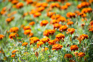 Beautiful orange red marigold flowers. Tagetes garden. Marigold flowers symbol of Ukraine. Floral background pattern tagetes. Tagetes traditional folklore ukrainian plants