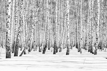 Black and white photo, birch forest winter landscape.