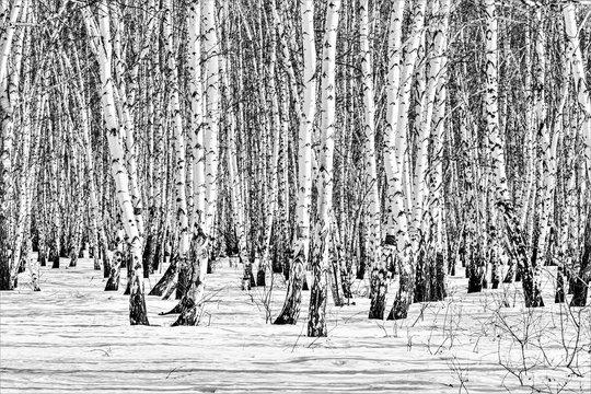 Black and white photo, birch forest winter landscape.