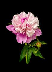 Bright flower peony portrait isolated on black background.