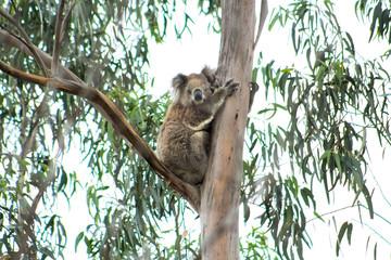 A Wild Koala in the You Yangs, Victoria, Australia.