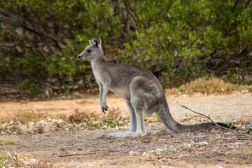 wild grey Kangaroo from a mob near the You Yangs in Victoria, Australia.