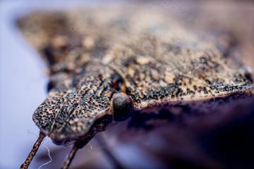 stink bug macro close up
