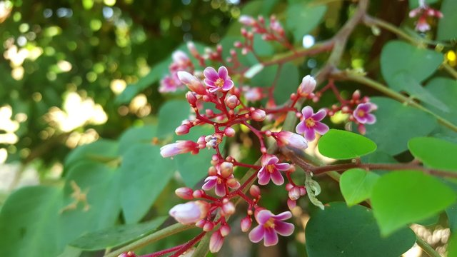 Starfruit flowers, herbal medicine for various diseases such as whooping cough