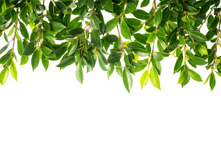 Banyan Tree Green leaves isolated on white background  Wall mural