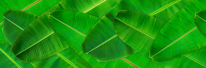 Fresh green banana leaves texture abstract background