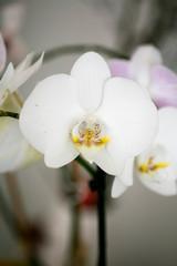 White orchidea phalenopsis macro flower fifty megapixels family orchidaceae