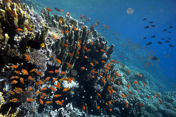 Fototapete - Tropical fish and Hard corals