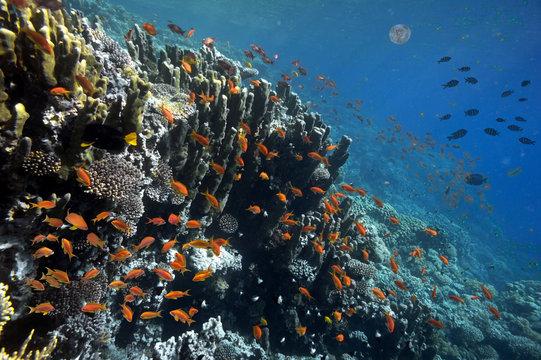 Tropical fish and Hard corals