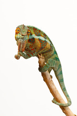 Fotorollo Chamaleon Pantherchamäleon (Furcifer pardalis) - Panther chameleon