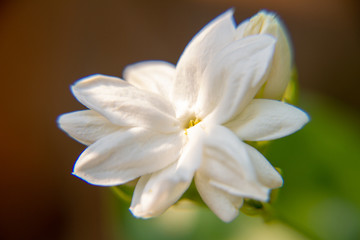 Photo sur cadre textile Fleur de lis Macro, White Jasmine flower, Flowers that are like words instead of saying that I love my mother. For giving to mothers on Mother's Day in thailand.