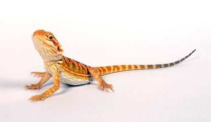 Bartagame (Pogona vitticeps) - bearded dragon