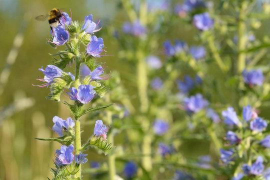 Blauer Natternkopf mit Hummel in der Blüte
