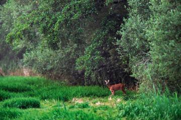 Printed kitchen splashbacks Khaki Roe doe in meadow at edge of forest.