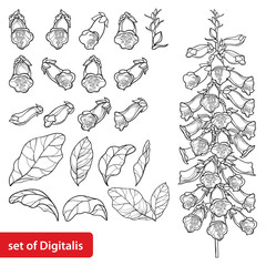 Obraz Set of outline toxic Digitalis purpurea or foxglove flower bunch, bud and leaf in black isolated on white background.  - fototapety do salonu