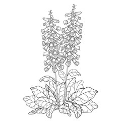 Obraz Bush of outline toxic Digitalis purpurea or foxglove flower bunch with bud and leaves in black isolated on white background.  - fototapety do salonu