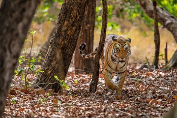 Tiger in the forest of Bandhavgarh National Park in India