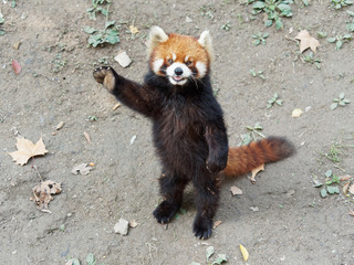 Keuken foto achterwand Panda Cute lesser panda (red panda) standing with its legs and tail, waving paw to ask for food, acting like say hello, funny animal behavior.
