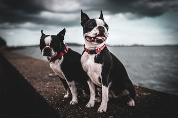 Fototapeta pies boston terrier