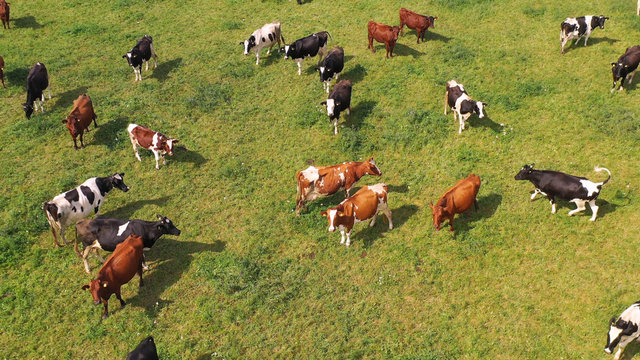 Aerial view of cows herd grazing on pasture field, top view drone pov , in grass field these cows are usually used for dairy production.