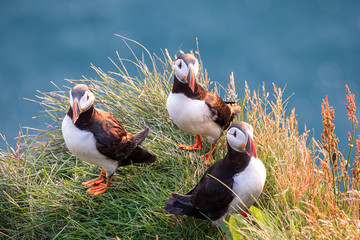 Puffin on the rocks at latrabjarg Iceland on a sunny day.
