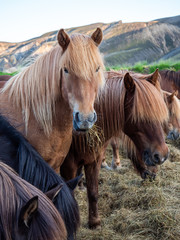 Icelandic horses. The Icelandic horse is a breed of horse developed in Iceland. Although the horses are small, at times pony-sized, most registries for the Icelandic refer to it as a horse.