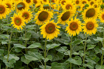 Fototapete - Summer landscape: beautiful field yellow sunflowers. Used for the production of sunflower oil and roasted seeds