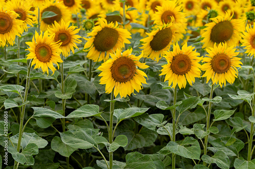 Fototapete Summer landscape: beautiful field yellow sunflowers. Used for the production of sunflower oil and roasted seeds