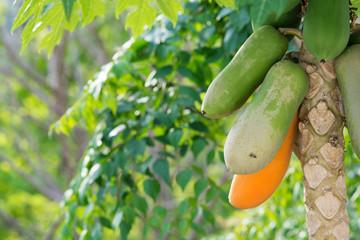 Yellow and green papaya on papaya tree