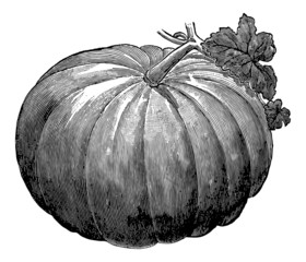 Vintage illustration of pumpkin