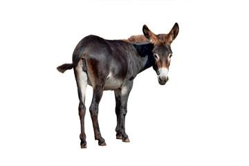 Tuinposter Ezel female black donkey isolated on white
