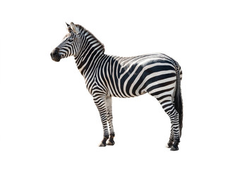 Wall Murals Zebra zebra isolated on white