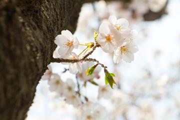 日本の桜、春の花見