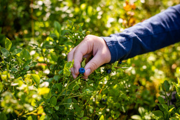 Young hand picking ripe blueberries close up