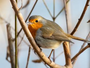 European Robin in winter