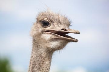 Zelfklevend Fotobehang Struisvogel Strauß, Struthio camelus