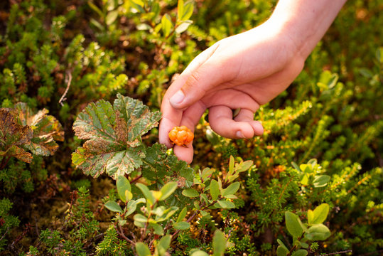 Picking ripe cloudberries (Rubus chamaemorus)
