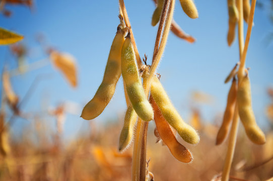Ripe pods of soybean varieties on a plant stem in a field during harvest against a blue sky. Selective focus. Space for text.