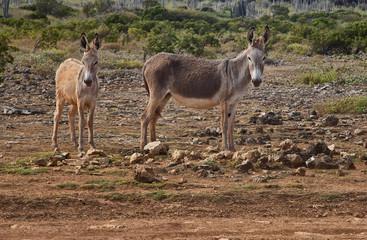 Wild Donkeys in Washington Slagbaai National Park, Bonaire